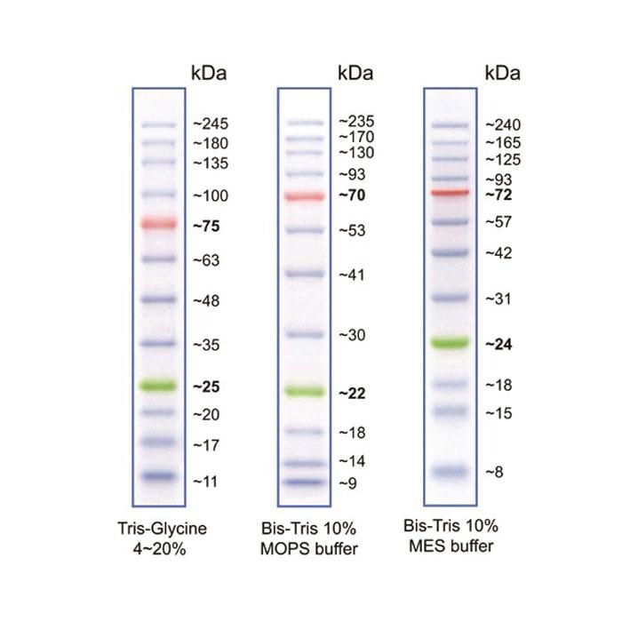 پروتئین لدر- پیش رنگ شده
